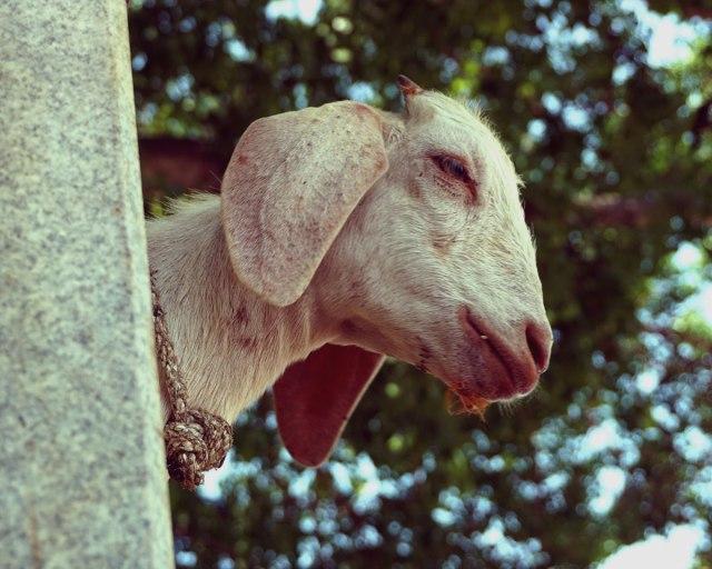 Peeping Goat