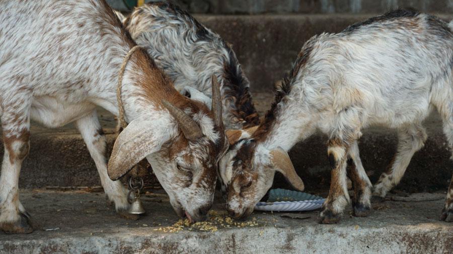 Goat Binging