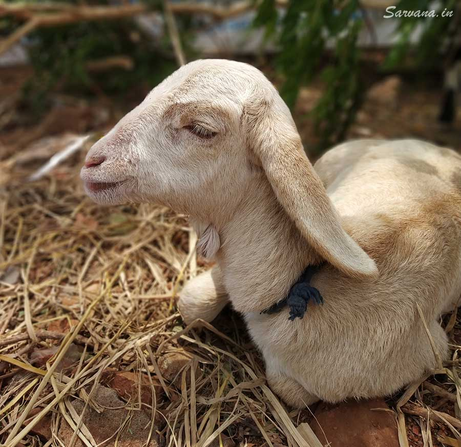 What are small goats called