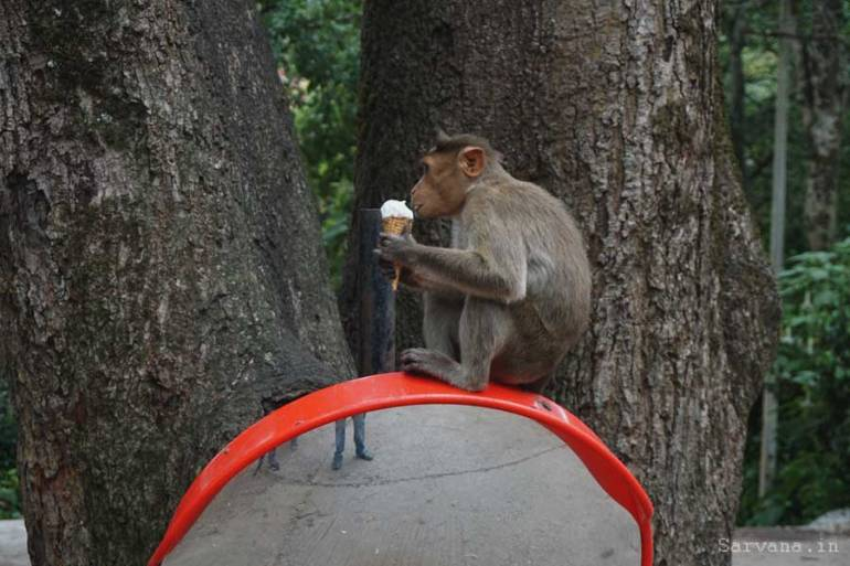 Monkey Licking Ice-cream: